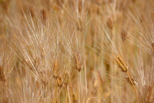 麦茶の原料である収穫期の大麦